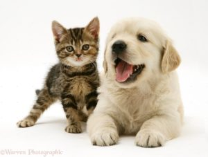 Tabby Kitten and Golden Retriever puppy